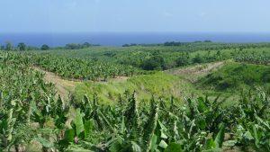 Read more about the article Die Nutzgärten auf Martinique