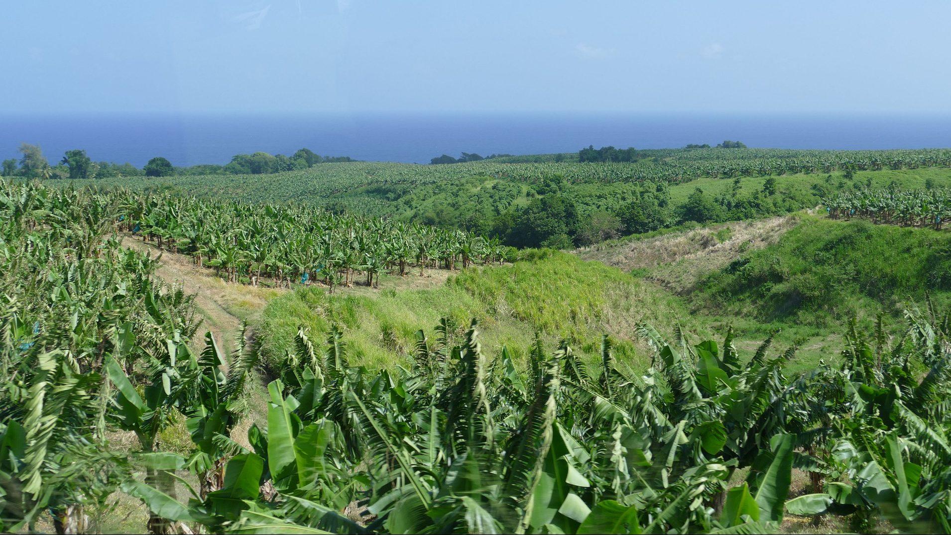 You are currently viewing Die Nutzgärten auf Martinique